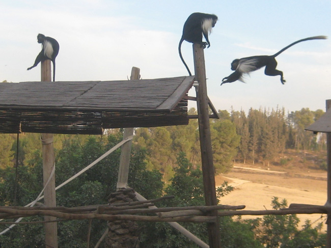 Monkey Park at Ben Shemen Forest
